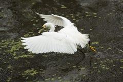 Sneeuwaigrette met vleugels uitgespreid in Florida Everglades Stock Foto's