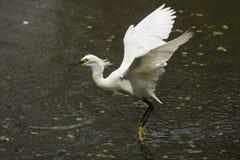 Sneeuwaigrette met vleugels uitgespreid in Florida Everglades Royalty-vrije Stock Afbeeldingen