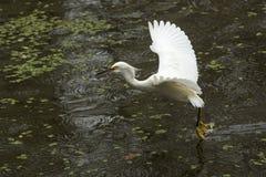 Sneeuwaigrette met vleugels uitgespreid in Florida Everglades Royalty-vrije Stock Foto