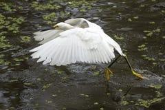 Sneeuwaigrette met vleugels uitgespreid in Florida Everglades Stock Fotografie