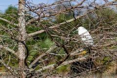 Sneeuwaigrette Roosting in Mangroveboom Stock Afbeelding