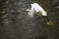 Sneeuwaigrettevliegen met een vis in zijn rekening, Florida Royalty-vrije Stock Afbeeldingen