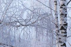 Sneeuwberktakken in de winter tegen de hemel stock foto