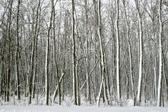 Sneeuwbomen na de Blizzard Royalty-vrije Stock Fotografie