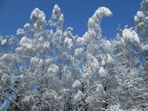 Sneeuwbomen op zonnige blauwe hemel Stock Afbeelding