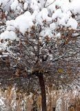 Sneeuwboom met roestige hieronder verlaten de herfstbladeren stock fotografie