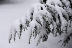 Sneeuwboomtakken Stock Foto's