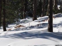 Sneeuwbos Stock Afbeeldingen
