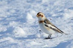 Sneeuwbunting die zich op sneeuw bevinden Stock Foto's