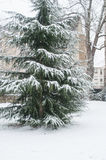 sneeuwcederboom in stedelijk park Royalty-vrije Stock Foto's