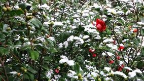 Sneeuwdalingen op de rode cameliabloem Cameliabloem in bloei die in sneeuw wordt behandeld Bloeiende camelia's die in witte sneeu stock videobeelden