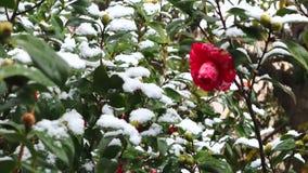 Sneeuwdalingen op de rode cameliabloem Cameliabloem in bloei in sneeuw wordt behandeld die Bloeiende camelia's die in witte sneeu stock video