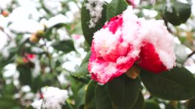 Sneeuwdalingen op de rode cameliabloem Cameliabloem in bloei in sneeuw wordt behandeld die Bloeiende die camelia's in witte sneeu stock videobeelden