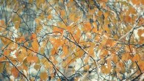 Sneeuwdalingen op de vergelende bladeren van berk stock videobeelden
