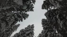 Sneeuwdalingen op nette takken Bos in Slowakije stock footage