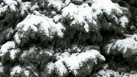 Sneeuwdalingen op takken van blauwe sparren stock videobeelden