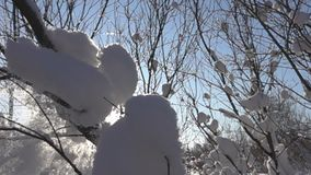 Sneeuwdalingen van de bomen in de dooi stock footage
