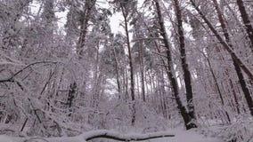 Sneeuwdalingen van een Tak, de Winterbos, Sneeuw Behandeld Pijnboombos stock videobeelden