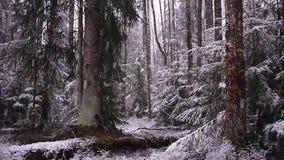 Sneeuwdalingen van het bos met bomen De intense sneeuw behandelt onmiddellijk de oppervlakte van de bos en boomtakken stock videobeelden