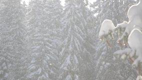 Sneeuwdalingen voor zonlicht Sneeuwvlokken in de Forest Snow behandelde pijnboombomen in berg tijdens de winter Sneeuwochtend in  stock videobeelden