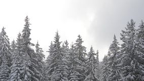 Sneeuwdalingen voor zonlicht Sneeuwvlokken in de Forest Snow behandelde pijnboombomen in berg tijdens de winter Sneeuwochtend in  stock footage