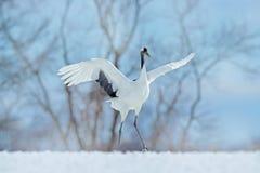 Sneeuwdans in aard Het wildscène van sneeuwaard Dansende rood-Bekroonde kraan met open vleugel tijdens de vlucht, met sneeuwonwee royalty-vrije stock fotografie