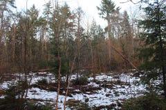 Sneeuwforest in fall Stock Foto's