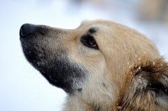 Sneeuwhond royalty-vrije stock afbeeldingen