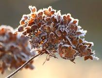 Sneeuwhydrangea hortensia stock foto