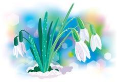 Sneeuwklokje Stock Afbeeldingen