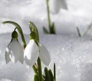 Sneeuwklokje Stock Foto