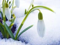Sneeuwklokje Royalty-vrije Stock Foto's