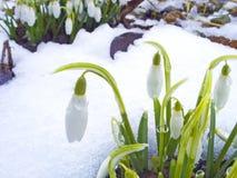 Sneeuwklokje Stock Foto's