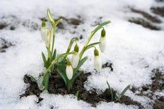 Sneeuwklokje Royalty-vrije Stock Fotografie