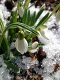 Sneeuwklokje stock afbeelding