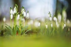 Sneeuwklokje, Common Snowdrop, Galanthus nivalis. Bloeiende Sneeuwklokje, Flowering Common Snowdrop stock photos