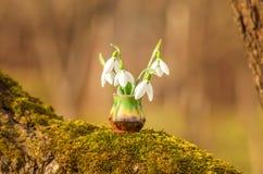 Sneeuwklokje De bloemen van de sneeuwklokjelente Sneeuwklokjes en zonneschijn royalty-vrije stock afbeelding