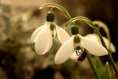 Sneeuwklokje - de eerste adem van de lente stock afbeelding