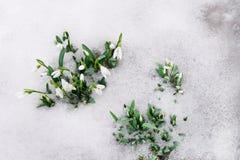Sneeuwklokje en Sneeuw stock afbeelding