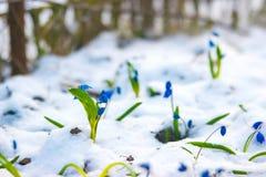 Sneeuwklokjebloem het groeien van de zonnige dag van de sneeuwlente Royalty-vrije Stock Afbeelding