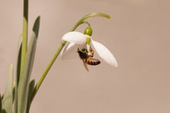 Sneeuwklokjebloem met honingbij stock foto