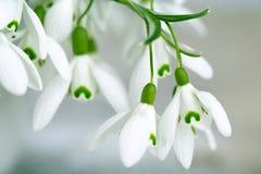 Sneeuwklokjebloemen Stock Foto