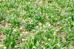Sneeuwklokjebloemen Stock Afbeeldingen