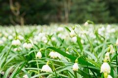 Sneeuwklokjebloemen Stock Fotografie