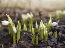 Sneeuwklokjebloemen in de vroege lente stock foto