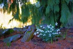 Sneeuwklokjebloemen op bosvloerlandschap Stock Afbeeldingen