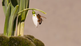 Sneeuwklokjeknop met honingbij royalty-vrije stock afbeeldingen