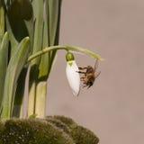 Sneeuwklokjeknop met honingbij stock afbeeldingen