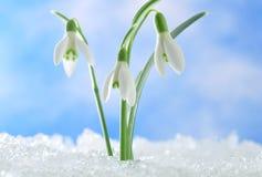 Sneeuwklokjes Stock Fotografie