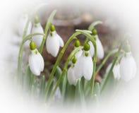 Sneeuwklokjes Stock Foto